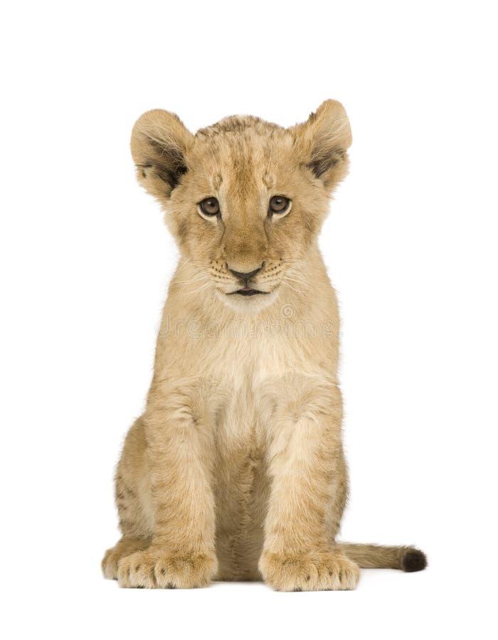 Lion Cub (4 mois) images libres de droits