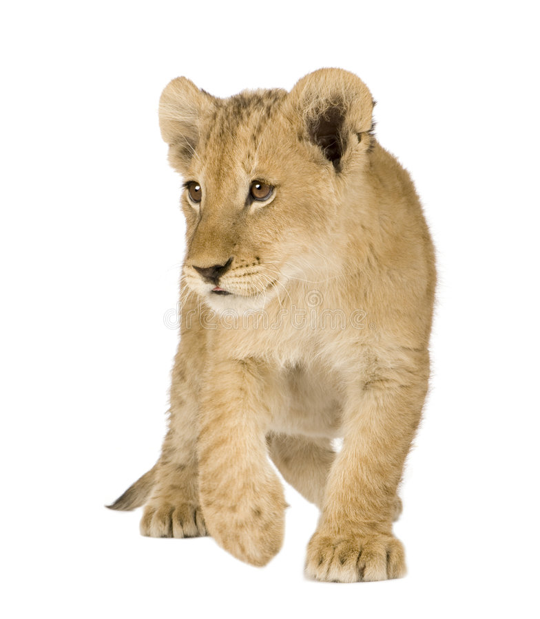 Free Lion Cub (4 Months) Royalty Free Stock Photo - 6003895