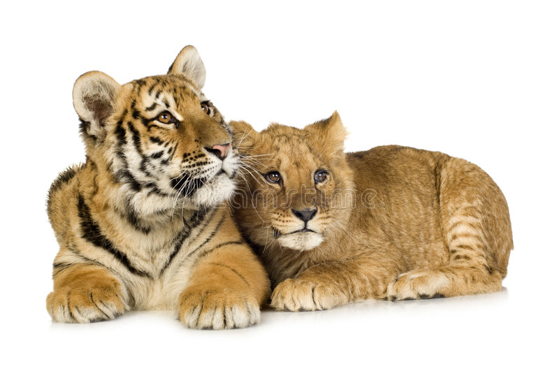 Download Lion Cub (5 Months) And Tiger Cub (5 Months) Stock Photo - Image: 4248286