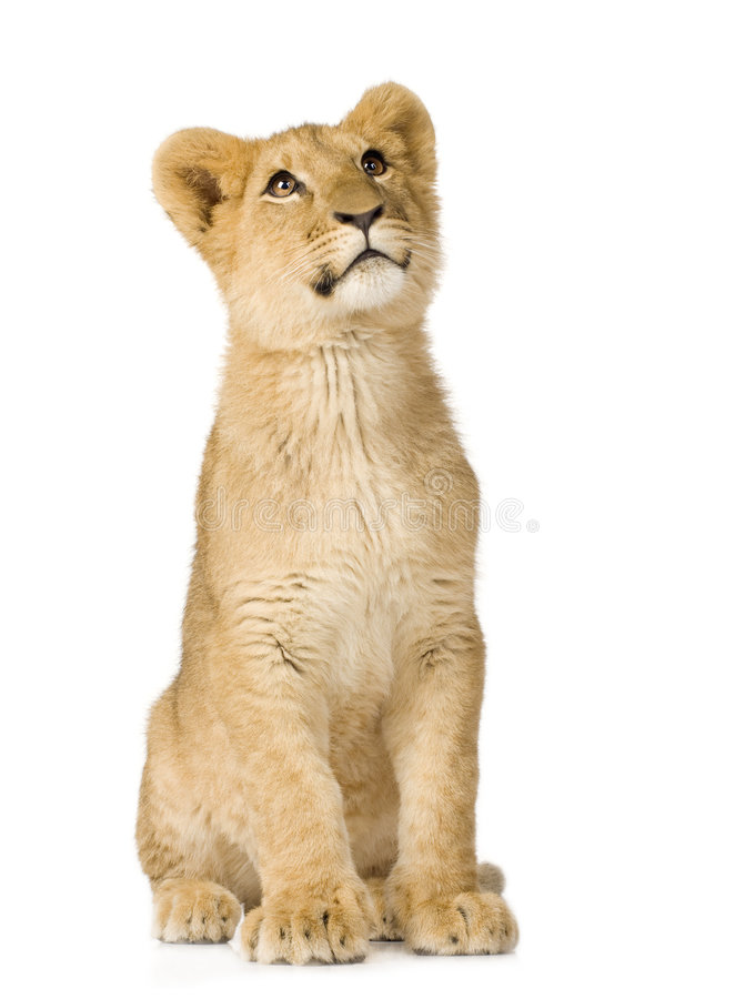 Free Lion Cub (6 Months) Royalty Free Stock Image - 4345356