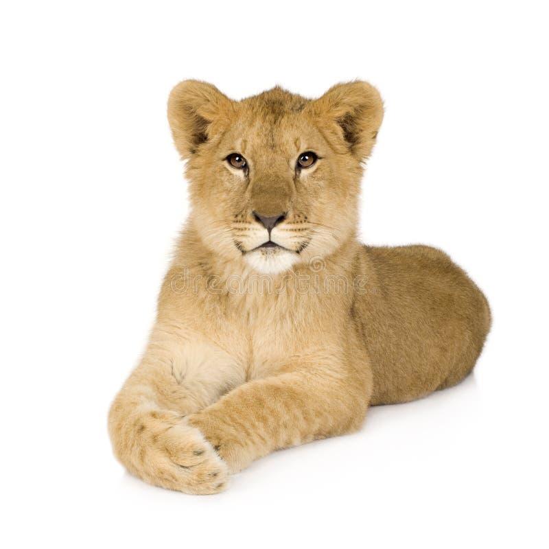 Lion Cub (6 months) stock image