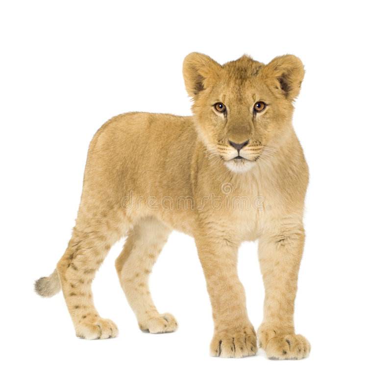 Free Lion Cub (6 Months) Stock Images - 4345504