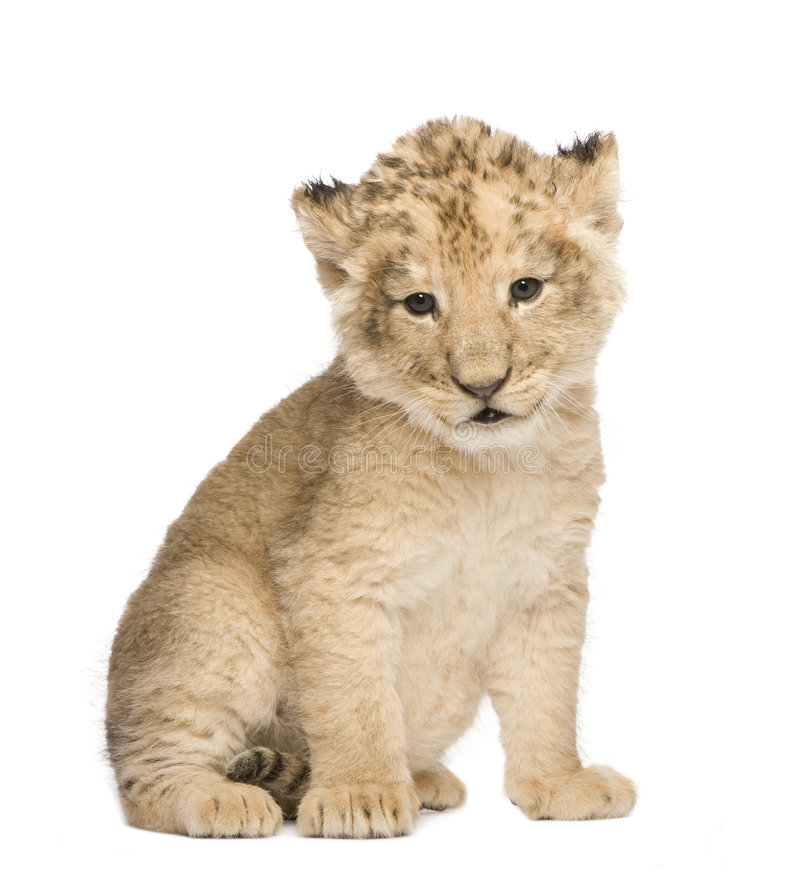 Free Lion Cub (6 Weeks) Stock Images - 6073134