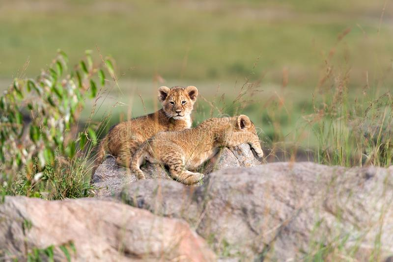 African Lion cub, Panthera leo. National park of Kenya, Africa stock images