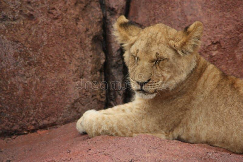 Lion Cub avec des yeux fermés image libre de droits