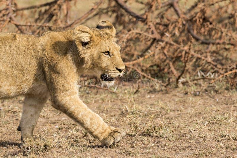 Lion Cub Close Up immagine stock libera da diritti