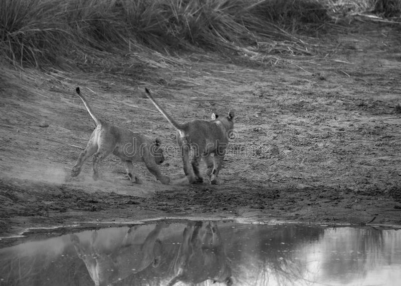 Lion Cub. S standing on a dam wall. Looking off into the distance at prey stock photography