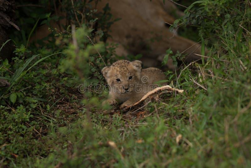 Lion Cub de chéri photographie stock