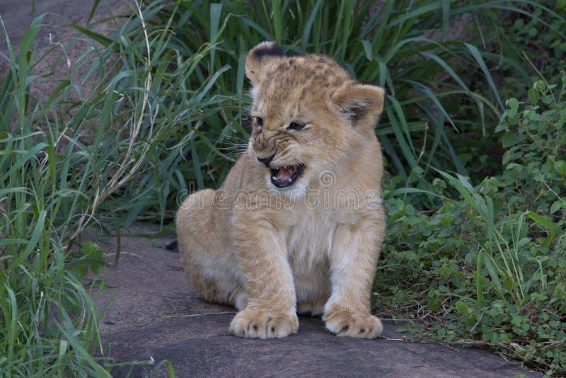 Lion Cub, duro y ocultando en hierba en Serengeti imágenes de archivo libres de regalías