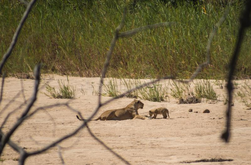 Lion Cub et lionne en parc national de Kruger photo stock