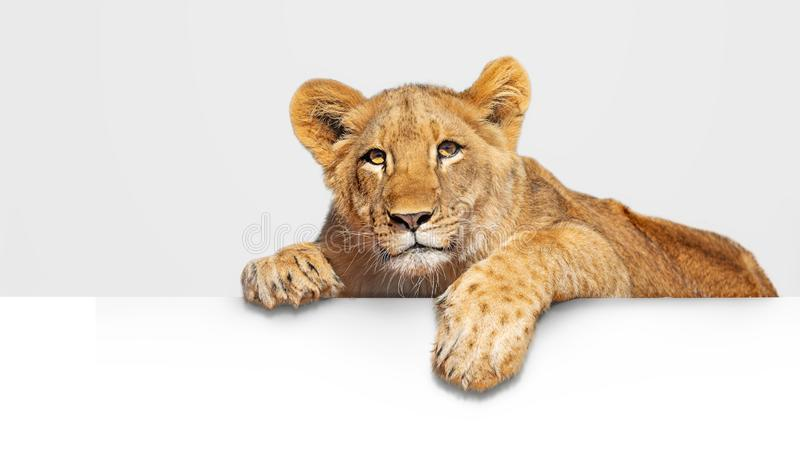 Lion Cub Hanging Over White rengöringsdukbaner royaltyfri foto