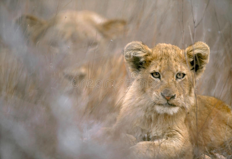A lion cub and her mother in Kruger National Park, royalty free stock photo