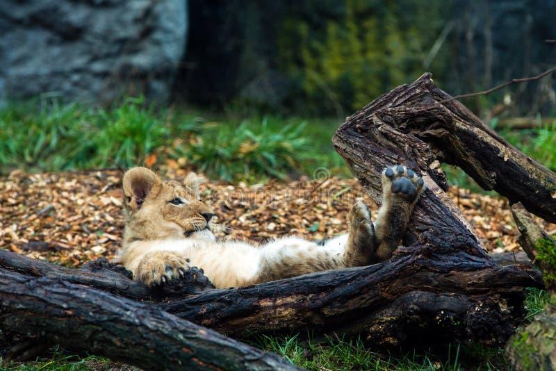 Lion cub laying down