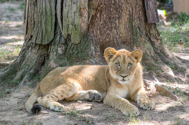 Lion Cub Laying Down in the Grass Looking at the Camera. Lion Cub Laying Down Looking at the Cameras stock photography