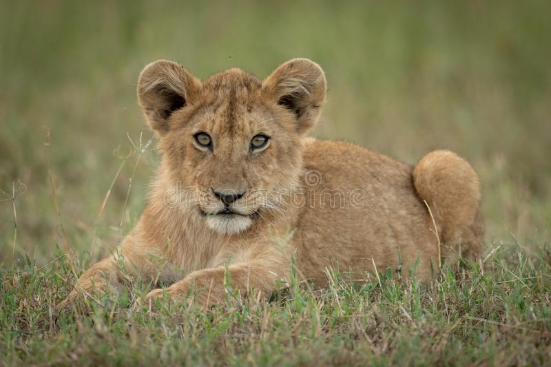 Lion cub lies in grass eyeing camera stock photography