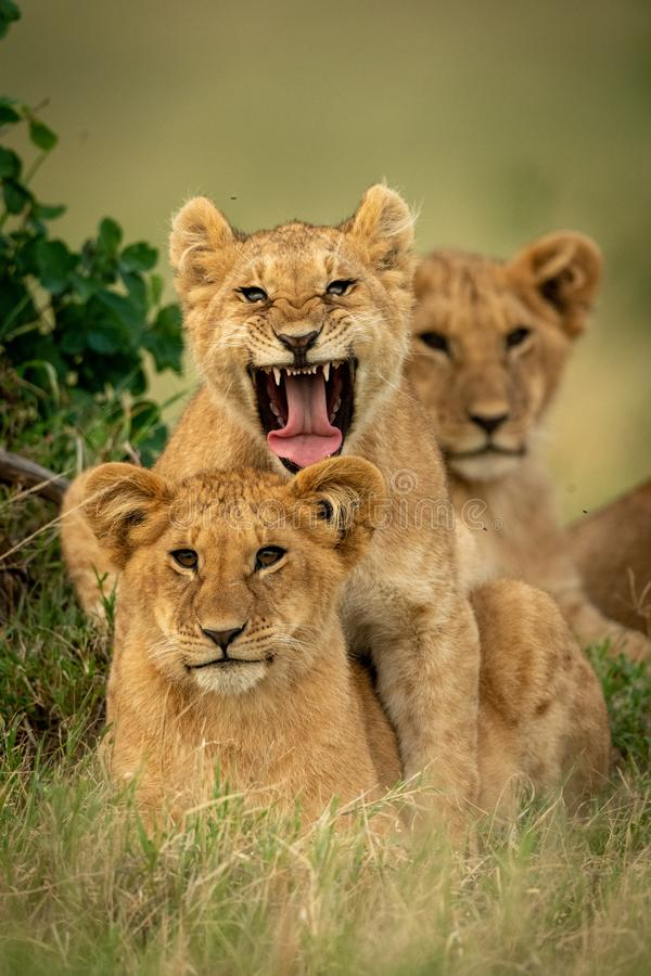 Lion cub lies yawning by two others royalty free stock photography