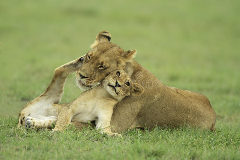 Download Lion cub and lioness stock photo. Image of mother, botswana - 22805768