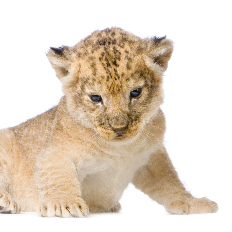 Download Lion Cub lying down stock photo. Image of childhood, shot - 2314726