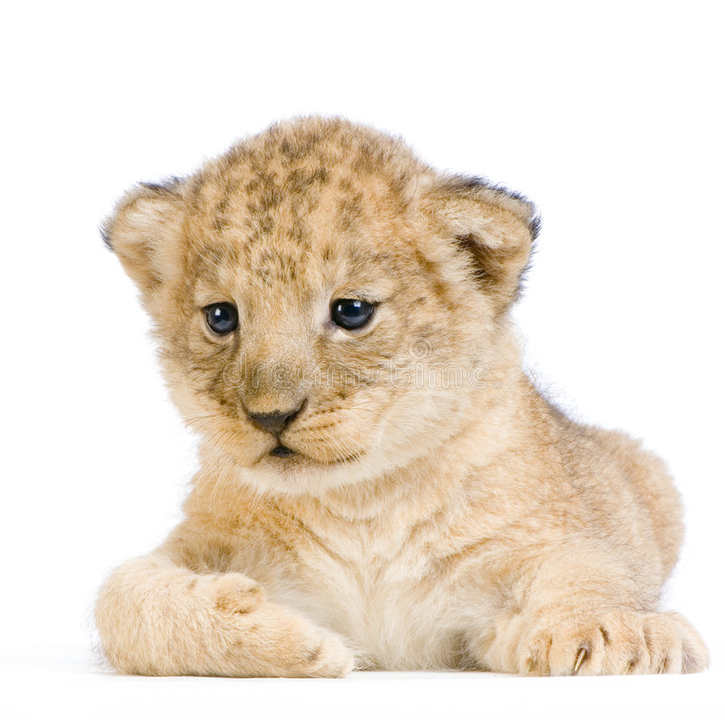 Download Lion Cub lying down stock image. Image of childhood, undomesticated - 2320443