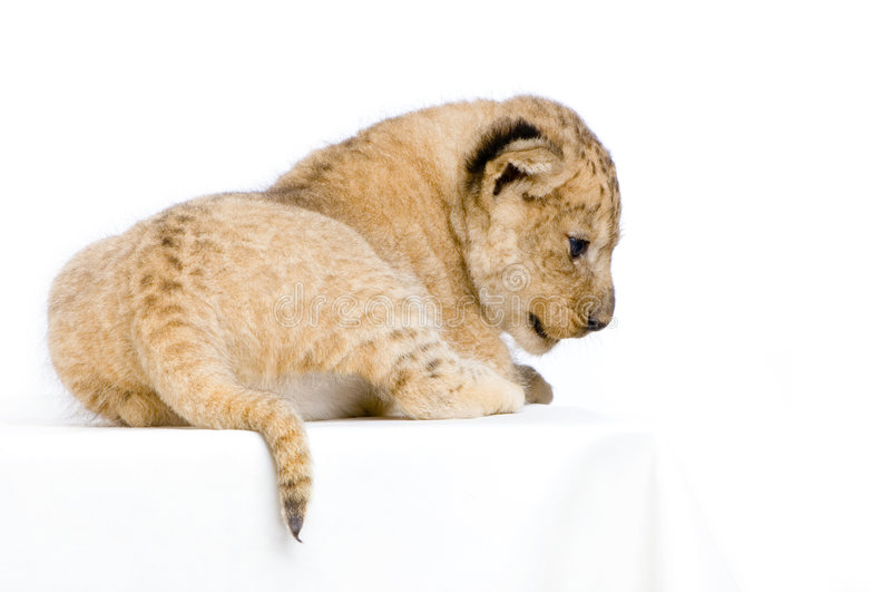 Download Lion Cub lying down stock image. Image of feline, face - 2320587