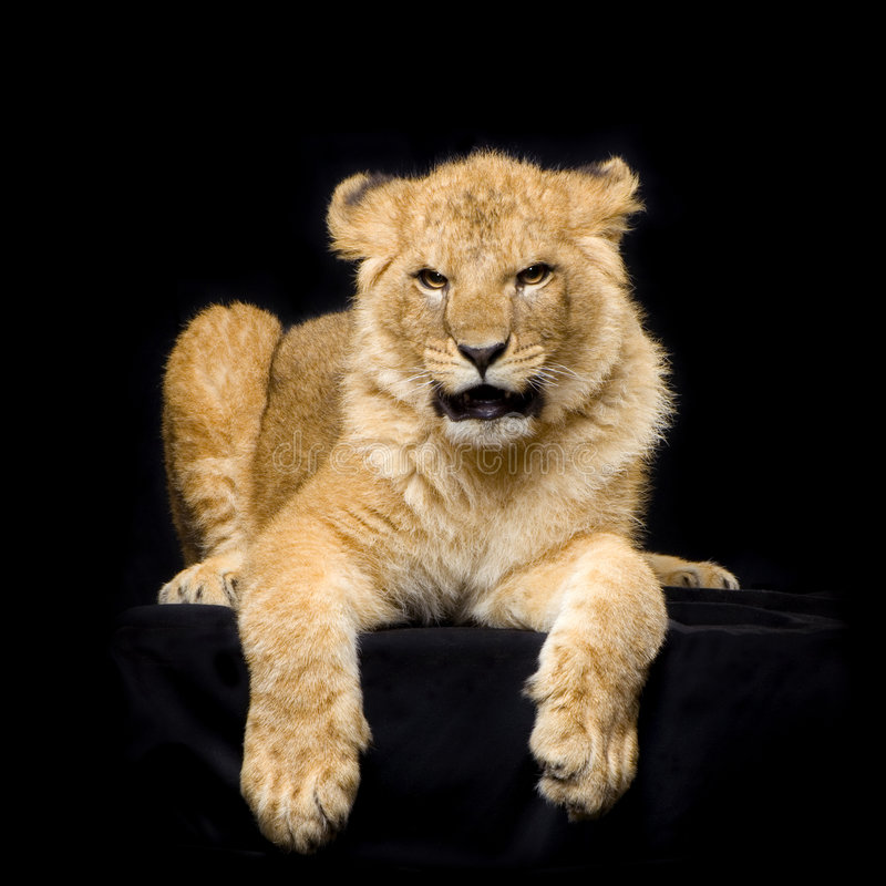 Download Lion Cub lying down stock image. Image of animal, lion - 2321433
