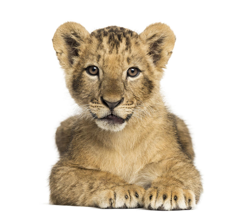 Lion cub lying, looking at the camera, 10 weeks old, isolated stock photo