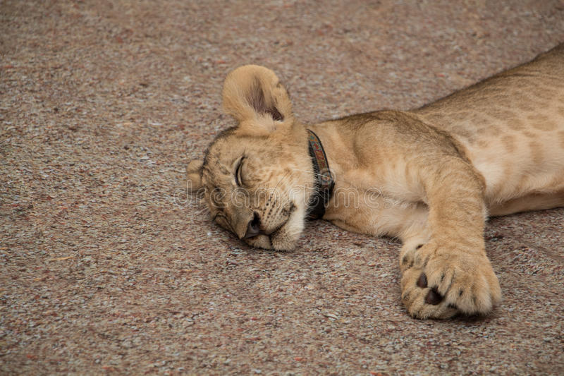Lion cub. royalty free stock images