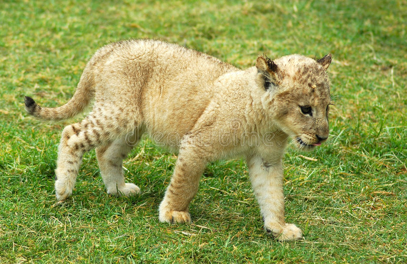 Download Lion cub moving stock photo. Image of breed, cute, eyes - 1600124