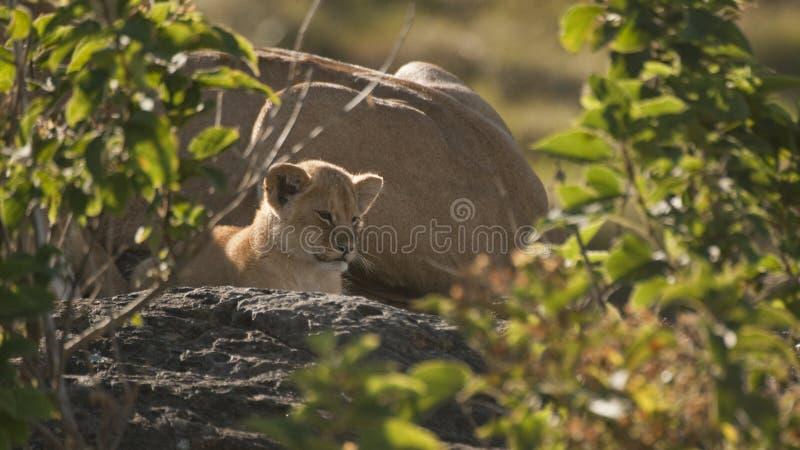 Lion cub neben seiner Mutter am frühen Morgen Maasai Mara, Kenya lizenzfreies stockbild
