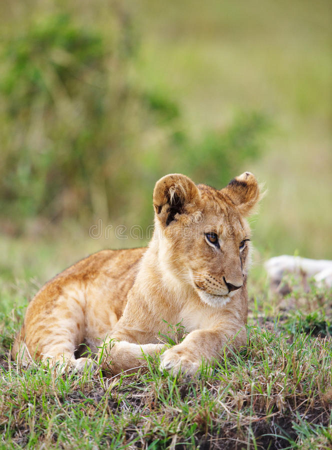 Lion cub (panthera leo) close-up stock photo