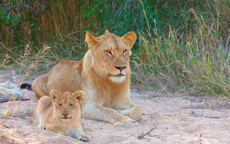 Lion cub (panthera leo) in a pride. Lion (panthera leo) cub lying next to his family in savannah in South Africa stock photos