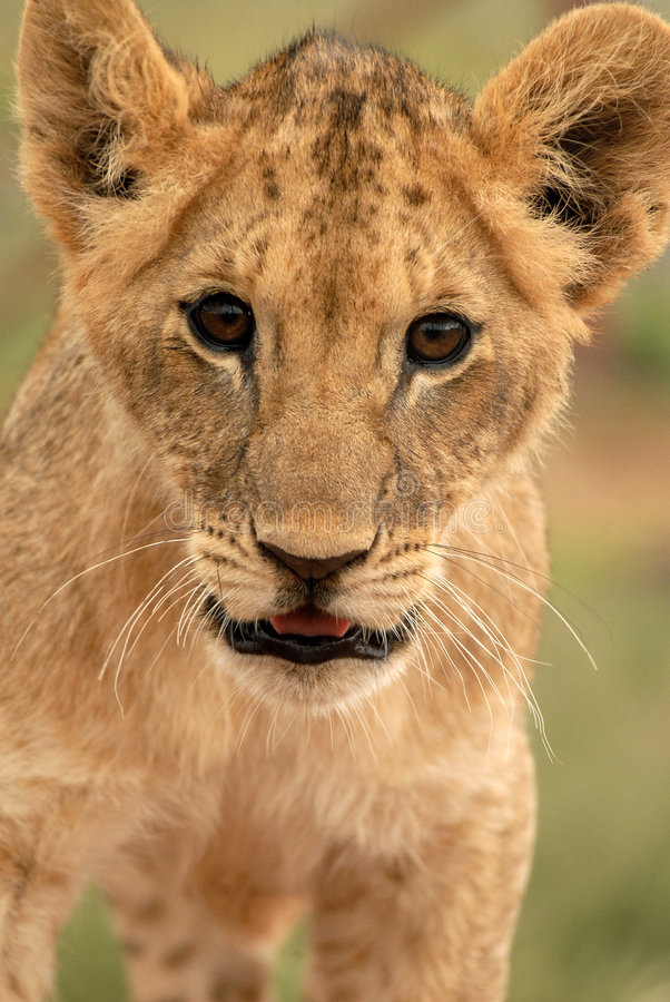 Lion Cub (panthera Lion), Afrique du Sud images stock