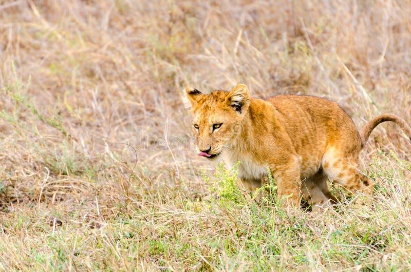Lion Cub, parque nacional de Serengeti fotografía de archivo