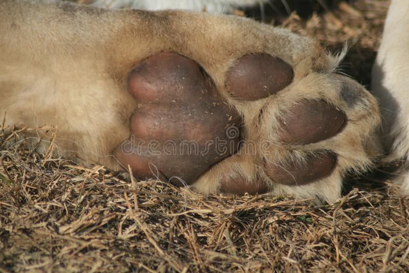 Download Lion cub paw stock photo. Image of foot, leeu, calm, cubs - 5713818