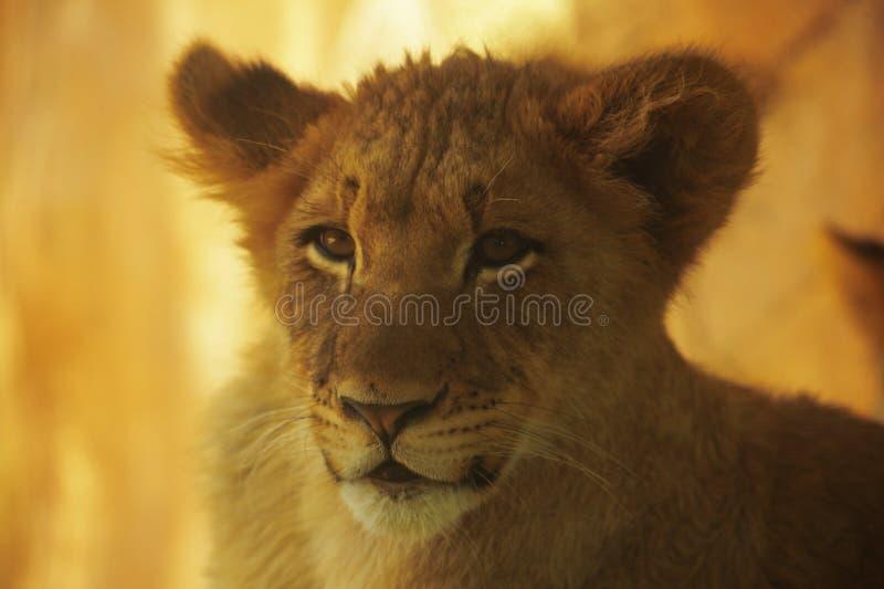 Lion Cub Pose imagem de stock