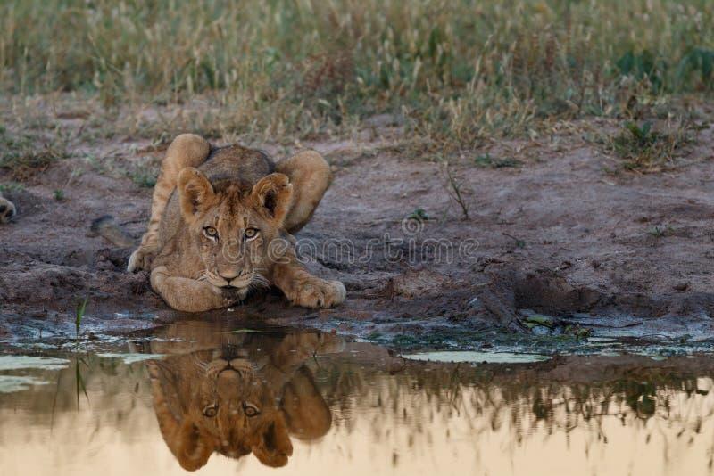 Lion Cub Reflection lizenzfreie stockfotografie