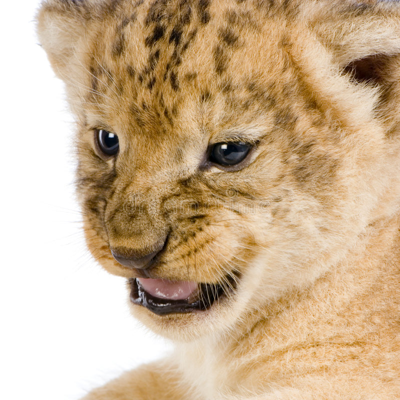 Download Lion Cub's C Royalty Free Stock Photo - Image: 2320275
