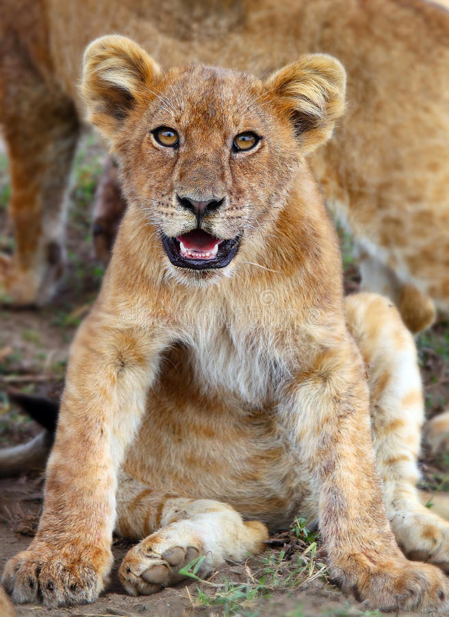 Download Lion cub  in Serengeti stock photo. Image of africa, family - 31739686
