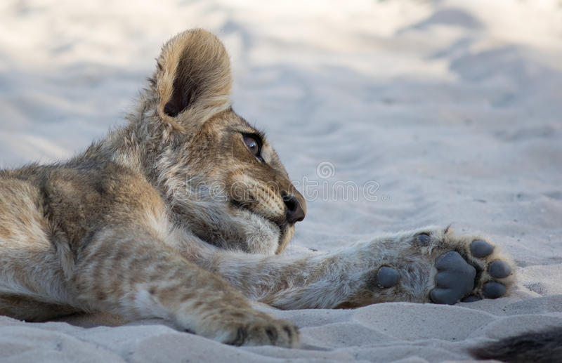 Lion Cub Siesta royalty free stock images