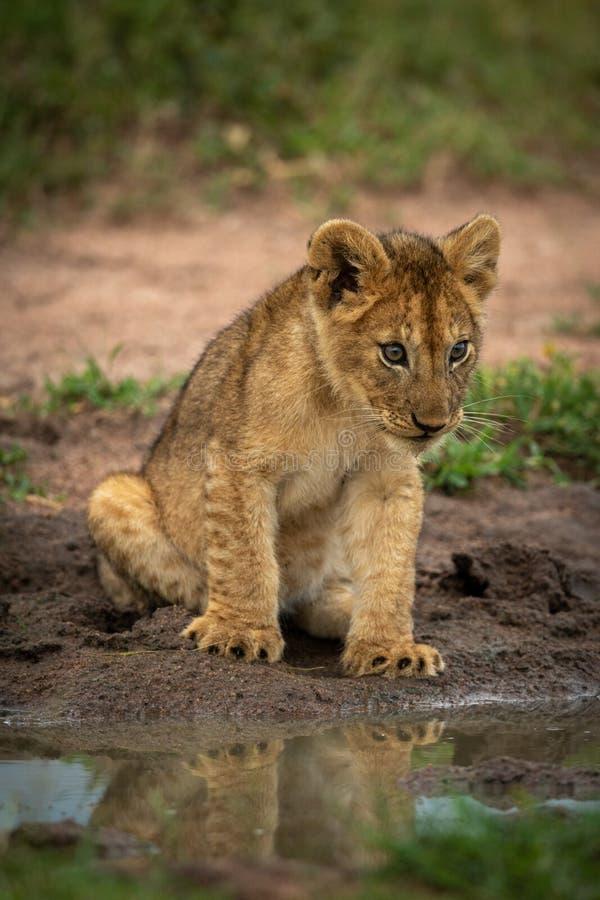 Lion cub sits staring at muddy pond royalty free stock photos