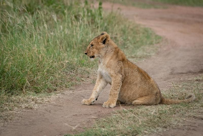 Lion cub sits on track facing left stock image