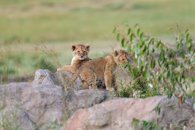 Lion cub on stone. African Lion cub, Panthera leo, National park of Kenya, Africa royalty free stock image