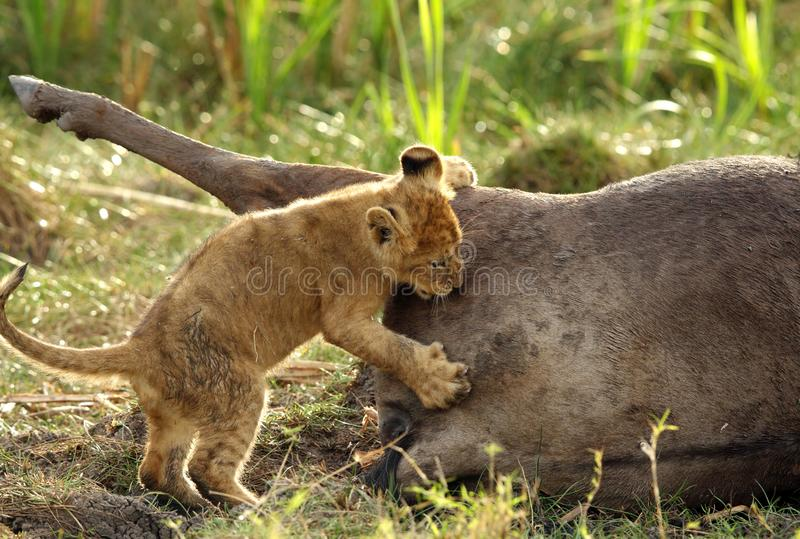 Lion cub trying to bite the kill stock photo