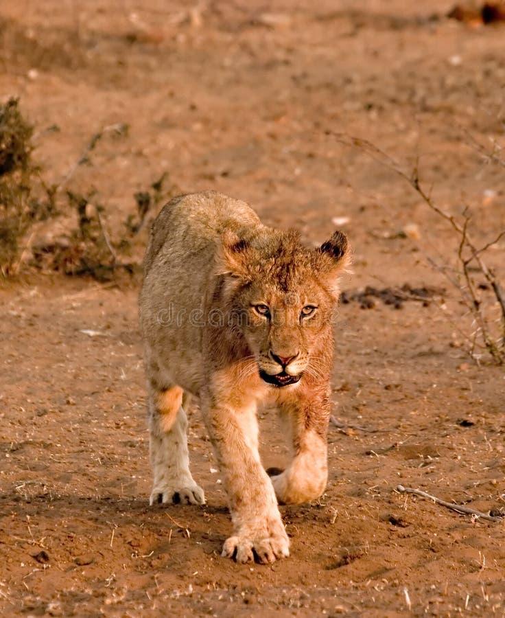 Download Lion cub in Tuli Block stock image. Image of mane, walking - 3096619