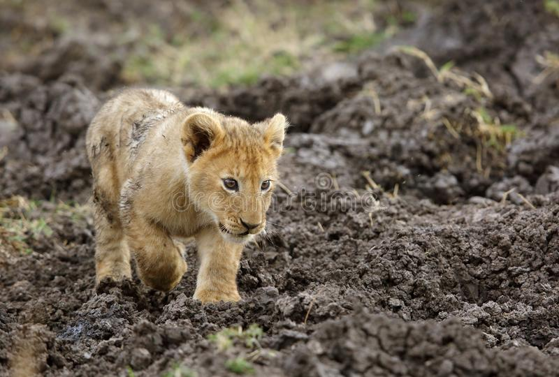 Lion cub walking. Lion is one of the four big cats and belongs to genus Panthera stock image