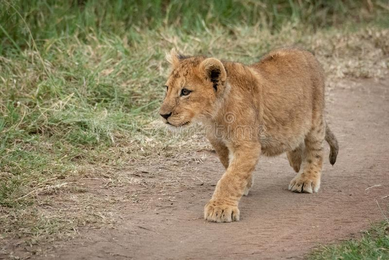 Lion cub walks along track staring intently royalty free stock photos