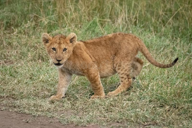 Lion cub walks on grass by track royalty free stock photos