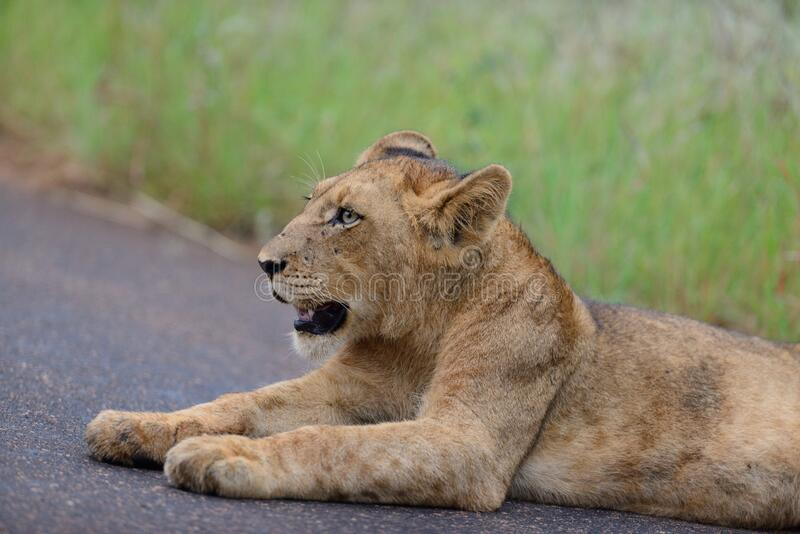Lion cub in the wilderness. Of Africa stock photography