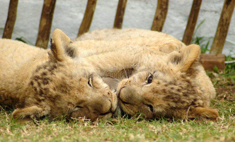 Lion cubs. Head portraits of two cute lion cubs playing in a game park in South Africa stock photos