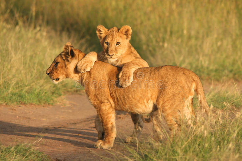 Lion cubs. Playing in the afternoon stock image